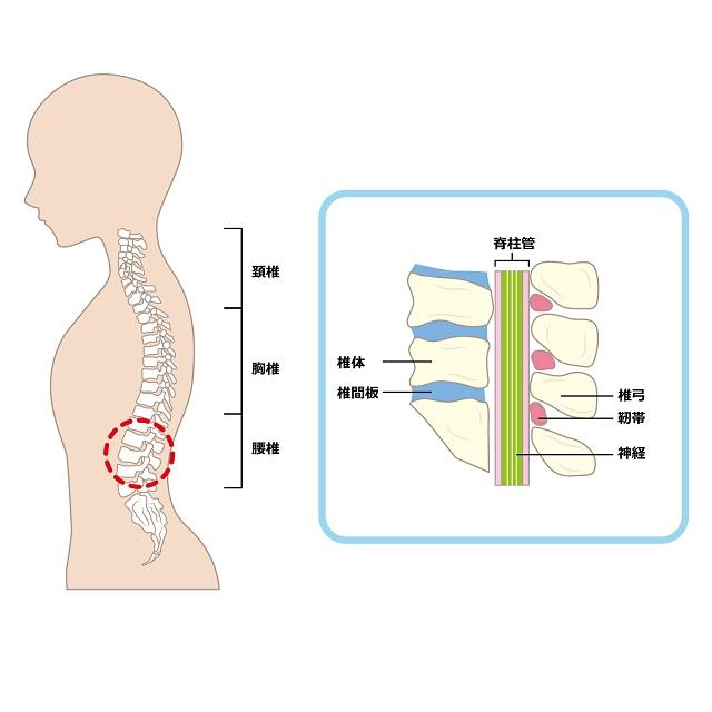 背骨の仕組み